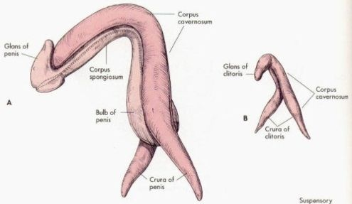 For anatamy of a clitoris opinion you