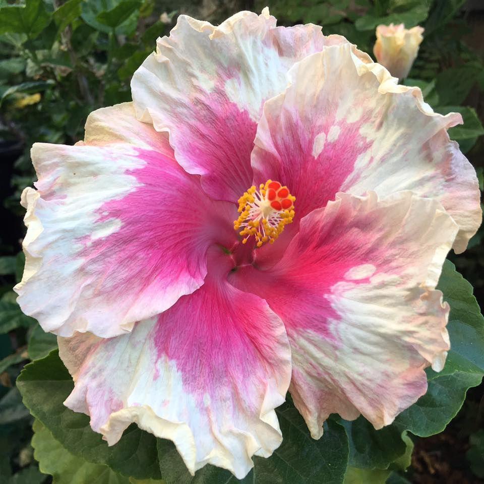 Hibiscus sugar kisses hibiscus pinterest hibiscus flowers hibiscus sugar kisses izmirmasajfo