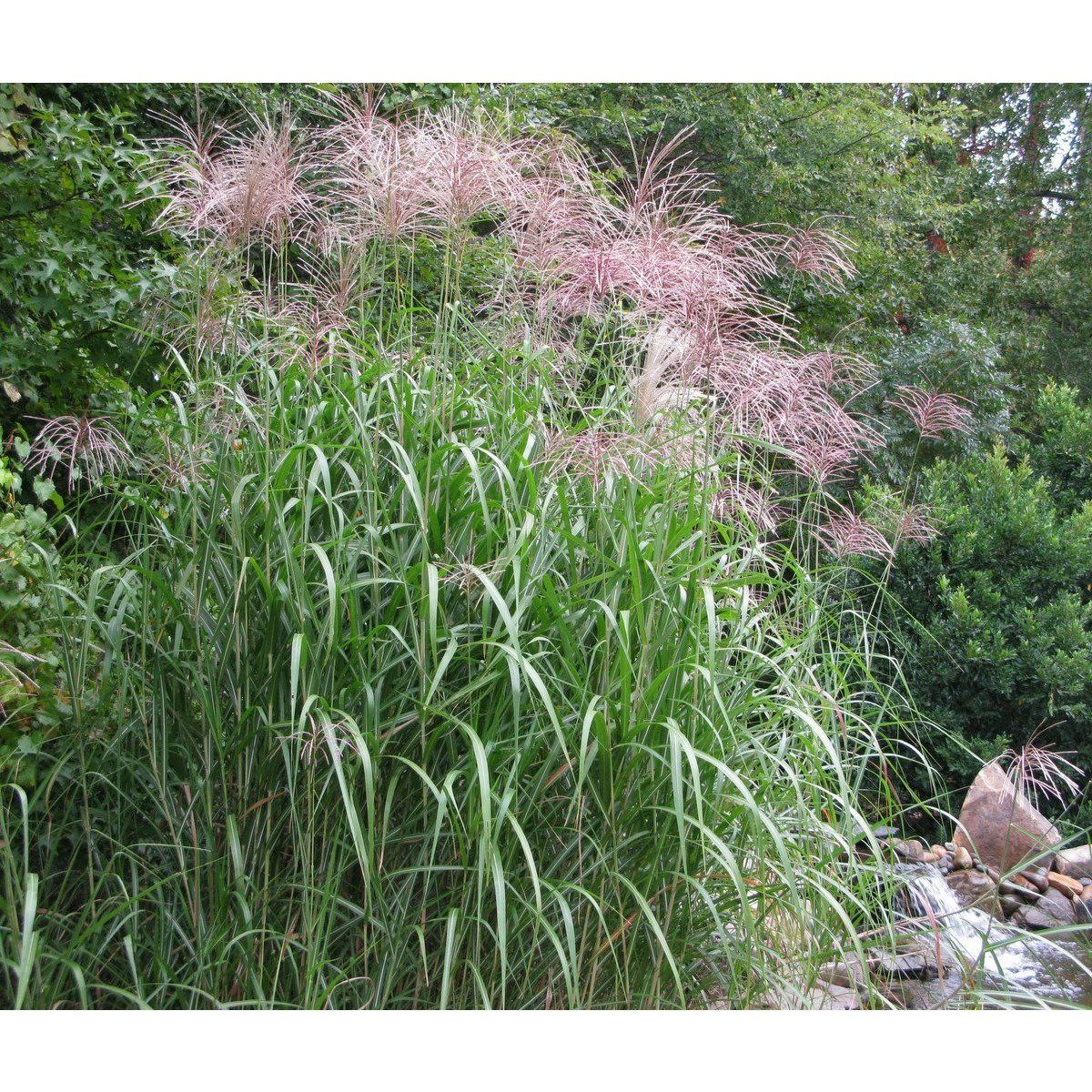 Miscanthus Giganteus Floridulus Maiden Grass In 2020 Drought Tolerant Landscape Grass Warm Season Grass