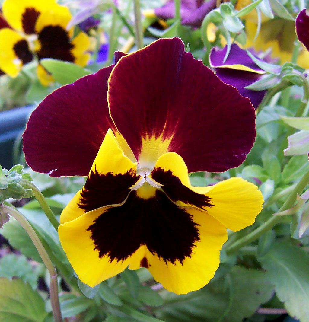 parts of a pansy flower Full resolution ‎ (1,024 × 1,067