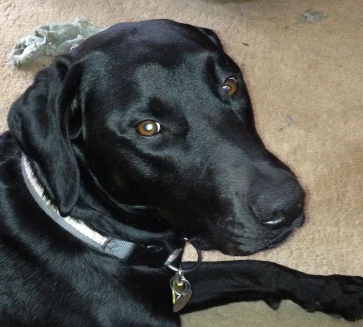 Lost Dog Long Lake Labrador Retriever / Rottweiler Mix