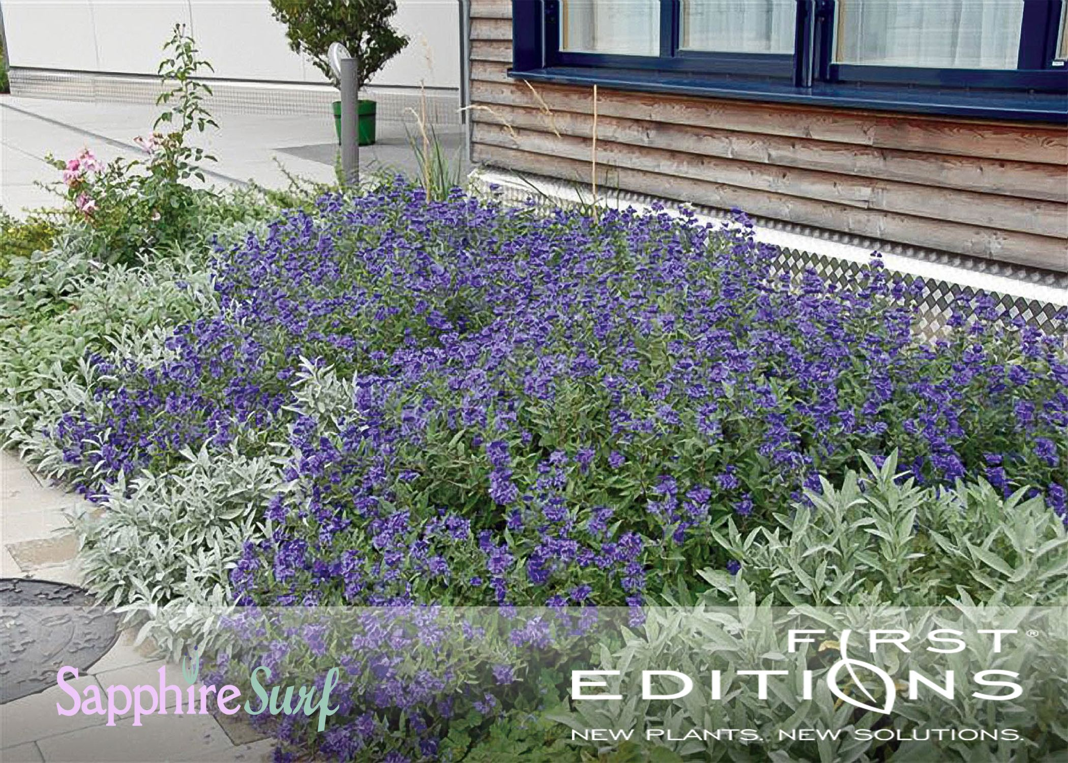 The sweet blue blooms of sapphire surf bluebeard make for for Low maintenance border shrubs