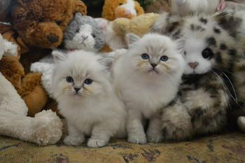 Ragtown Cattery Ragdoll Cats Ragdoll Kitten Breeder Southwestern Ontario Canada Ragdolls For Sale Ragdoll Kitten Ragdoll Cat Cattery