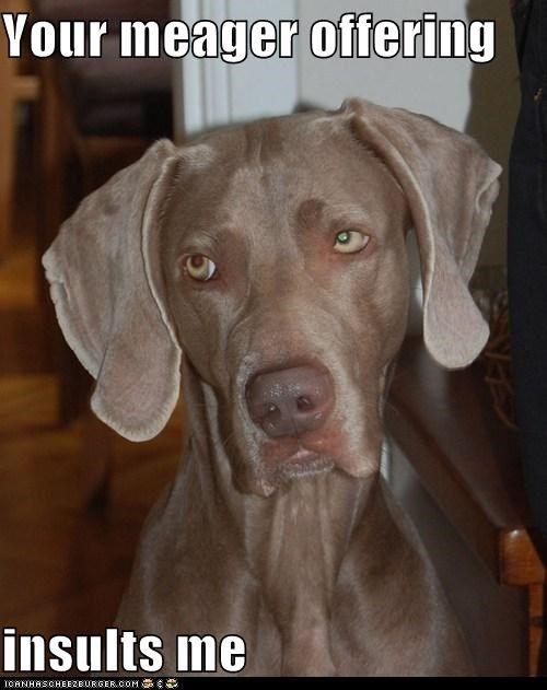 Not Impressed Dog : impressed, 'not-impressed, Face'., Funny, Dogs,, Weimaraner,