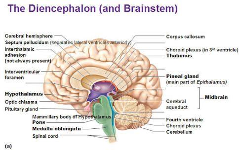 Diencephalon And Brain Stem Diagram Diy Enthusiasts Wiring Diagrams