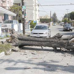 En el cruce de las calles Orión y Casiopea, en la colonia La Calma, se cayó este árbol, por fortuna no causó daños. Fotos del reportero ciudadano Javier Murillo.