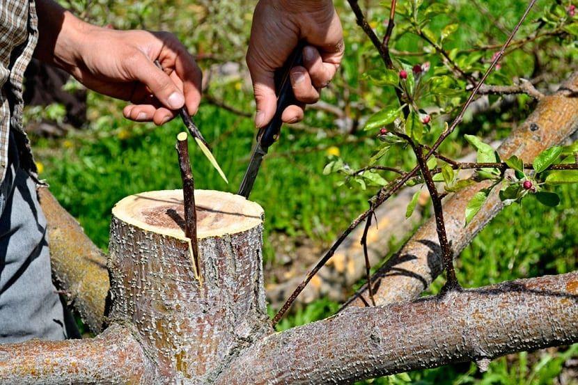 Cuándo Y Cómo Hacer Un Injerto De Olivo Injertos De Plantas Olivo Cultivo De Plantas