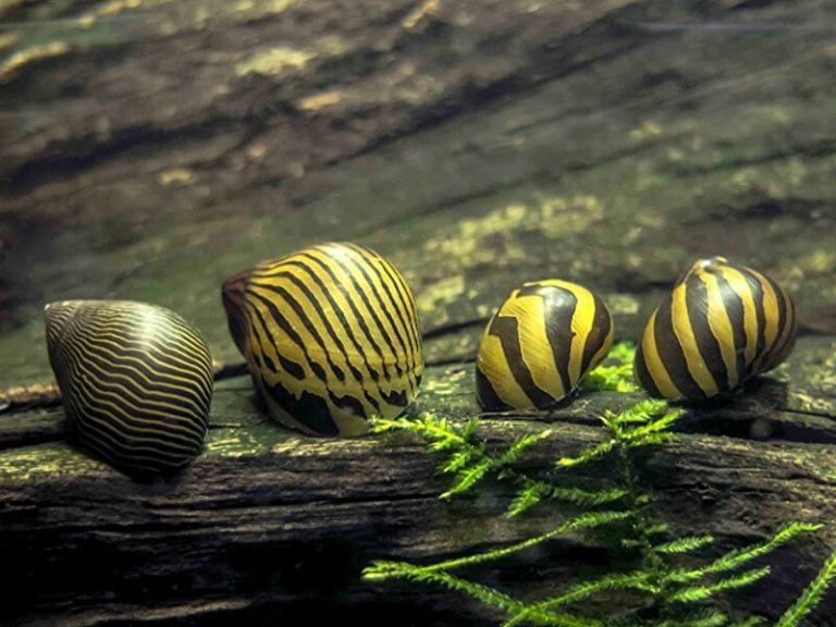 Nerite Snail Eggs Care Algae Eating Tips And Lifespan All About Nerite Snails Goodmorning Aquarium Snails Snail Aquatic Arts