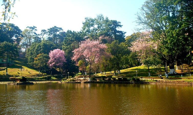 Japan In India India S 2nd Autumn Cherry Blossom Festival In Shillong Know It All Nov 8 11 2017 Gets Cherry Flower Cherry Blossom Festival Shillong