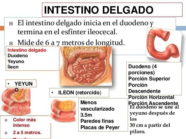 fisiologia del intestino delgado y grueso - Buscar con Google ...
