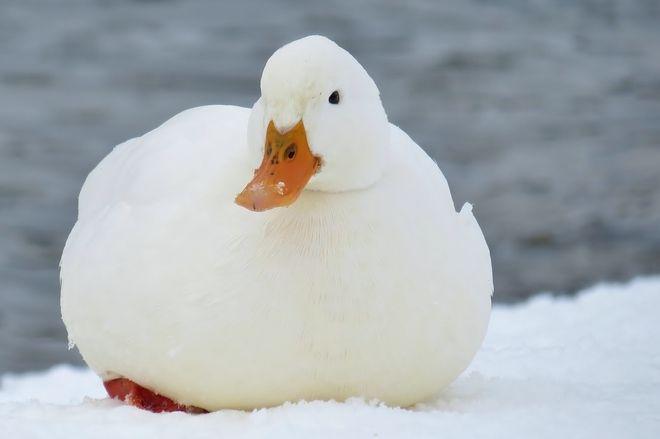 Duck in London