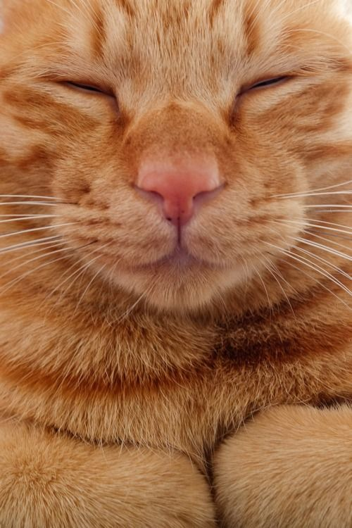 Contentment An Orange Red Tabby Has The Best Temperment Of All Cats Can T Explain It But They Just Ooze With Per Orange Tabby Cats Cats Beautiful Cats