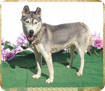 Marietta Ga Siberian Husky Meet Abigail A Dog For Adoption