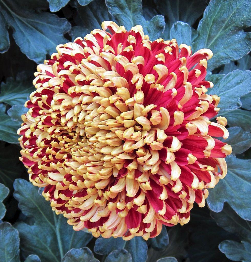 Red And Gold Chrysanthemum Longwood Gardens Img 5365 Chrysanthemum Red Chrysanthemums Longwood Gardens