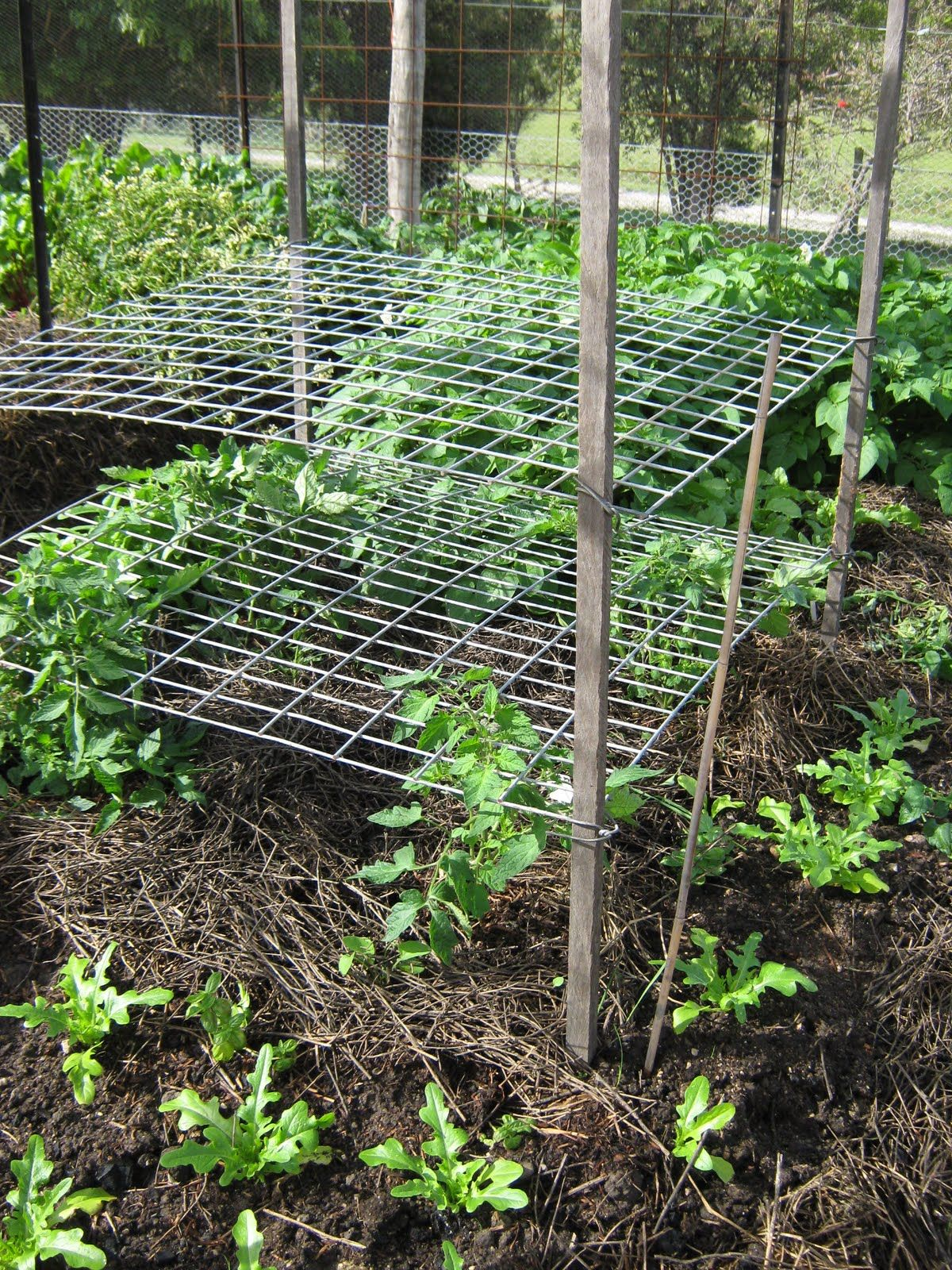 Lateral trellis good for growing tomatoes no more for Pinterest trellis ideas