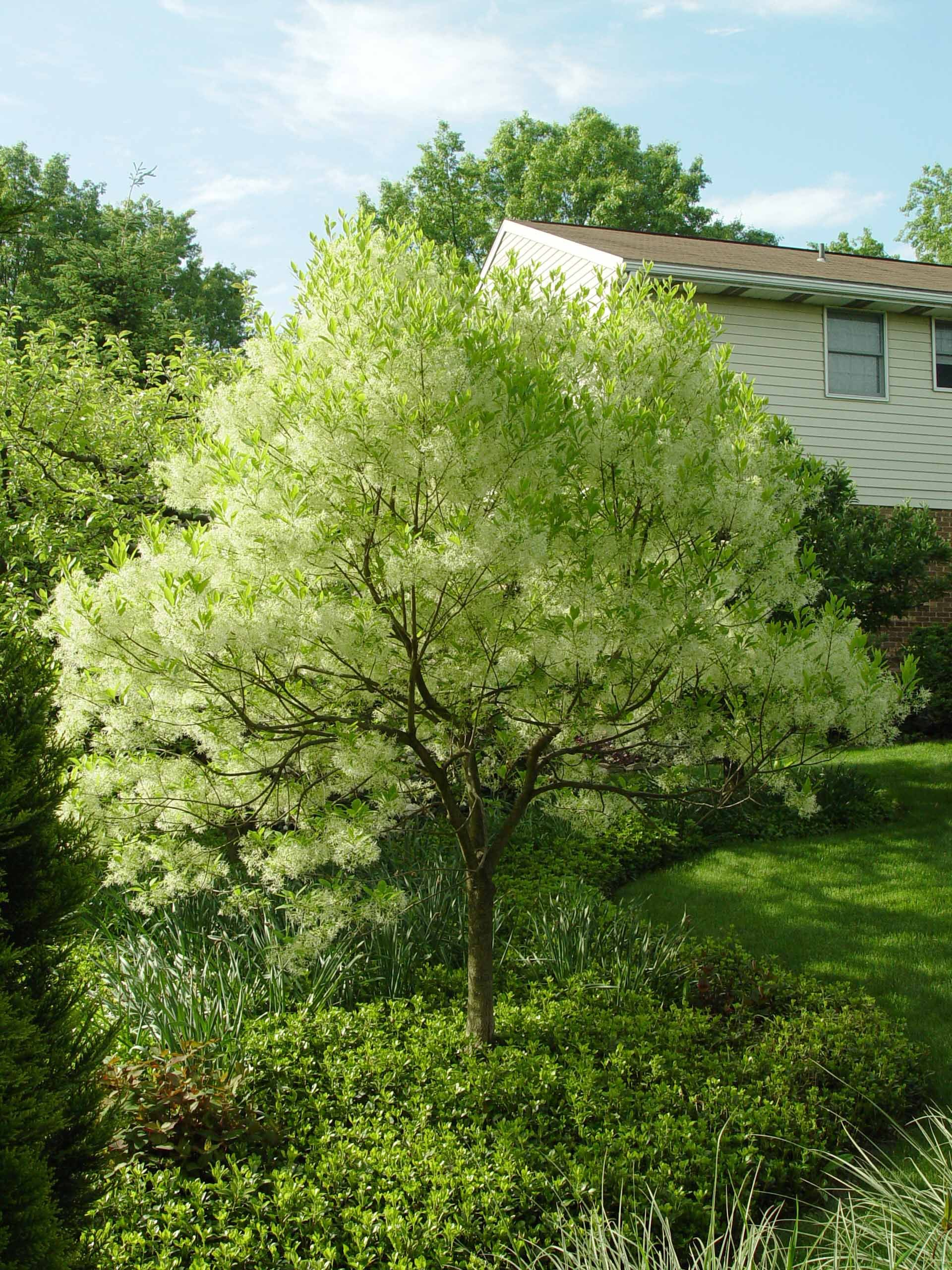 American fringe tree chionanthus virginicus a small for Great small trees