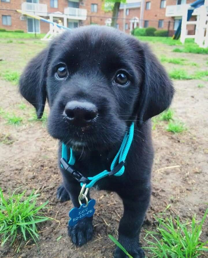 Kavu The Little Adventure Dog Black Lab Siberian Husky Mix