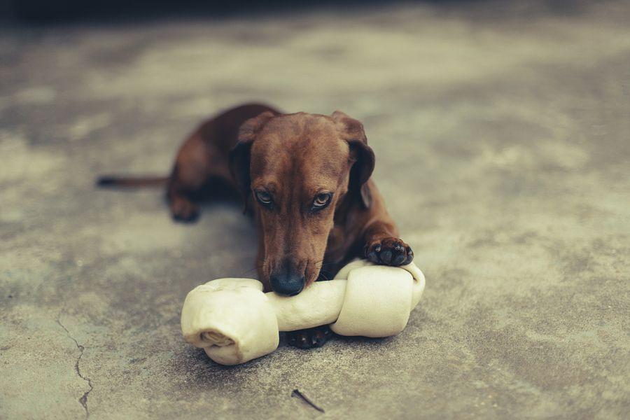 Mi Hueso By Pablo Reinsch Dachshund Dachshund Love Dogs