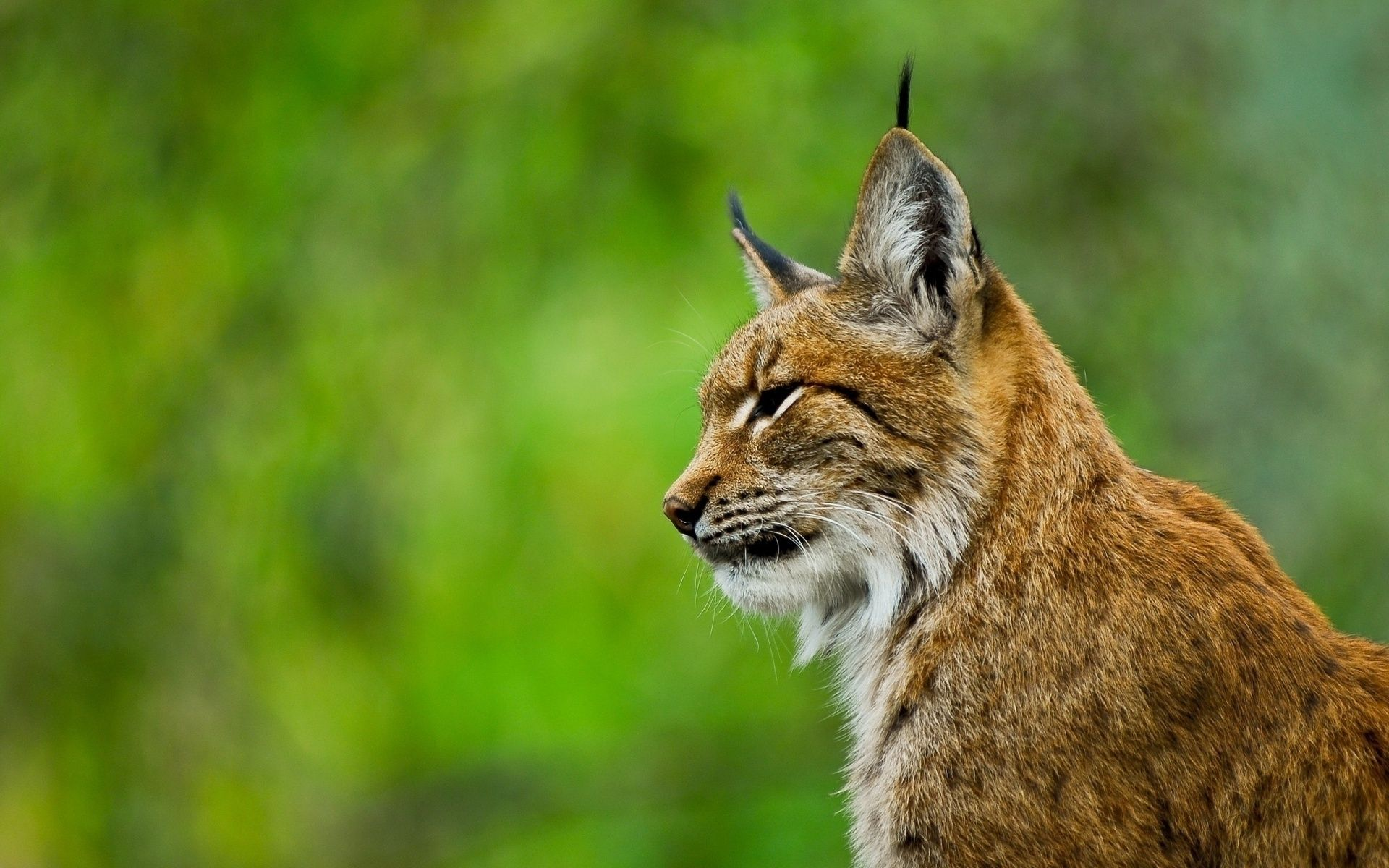 Lynx Wallpaper Lynx Wild Cats Animals