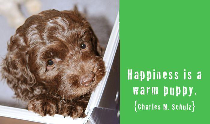 Happiness Is A Warm Puppy Australian Labradoodle Puppies Labradoodle Puppy Puppies