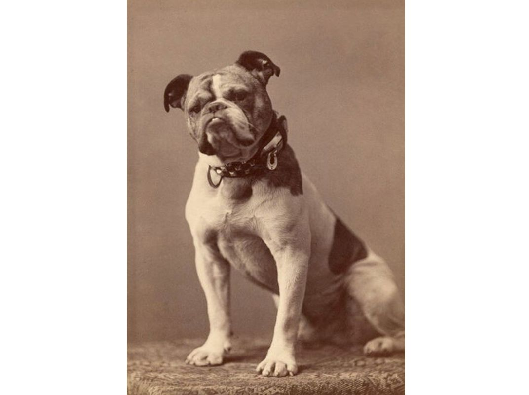 Bulldogs Are Dangerously Unhealthy But There May Not Be Enough