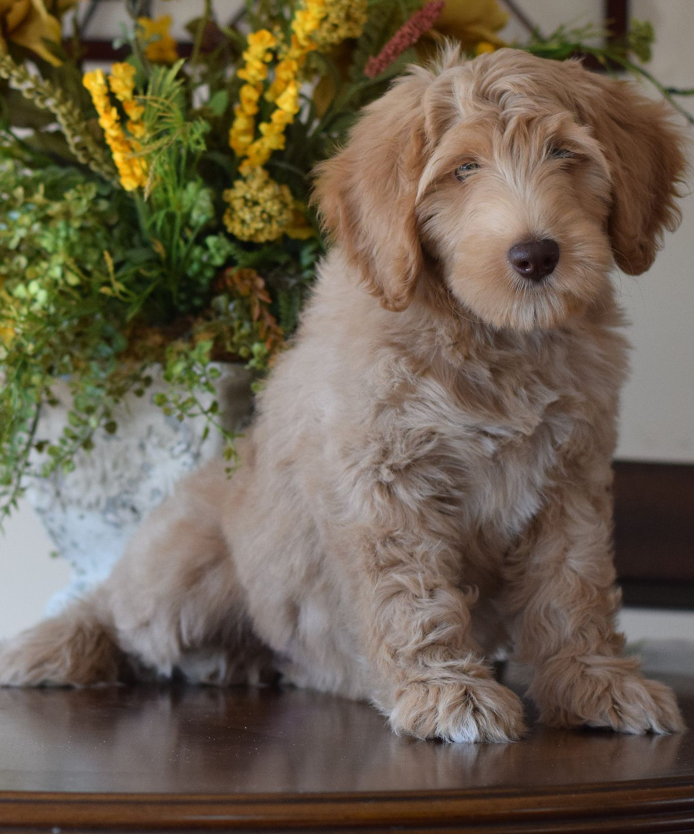 Trained Labradoodle Puppies For Sale Trained Labradoodle Breeders