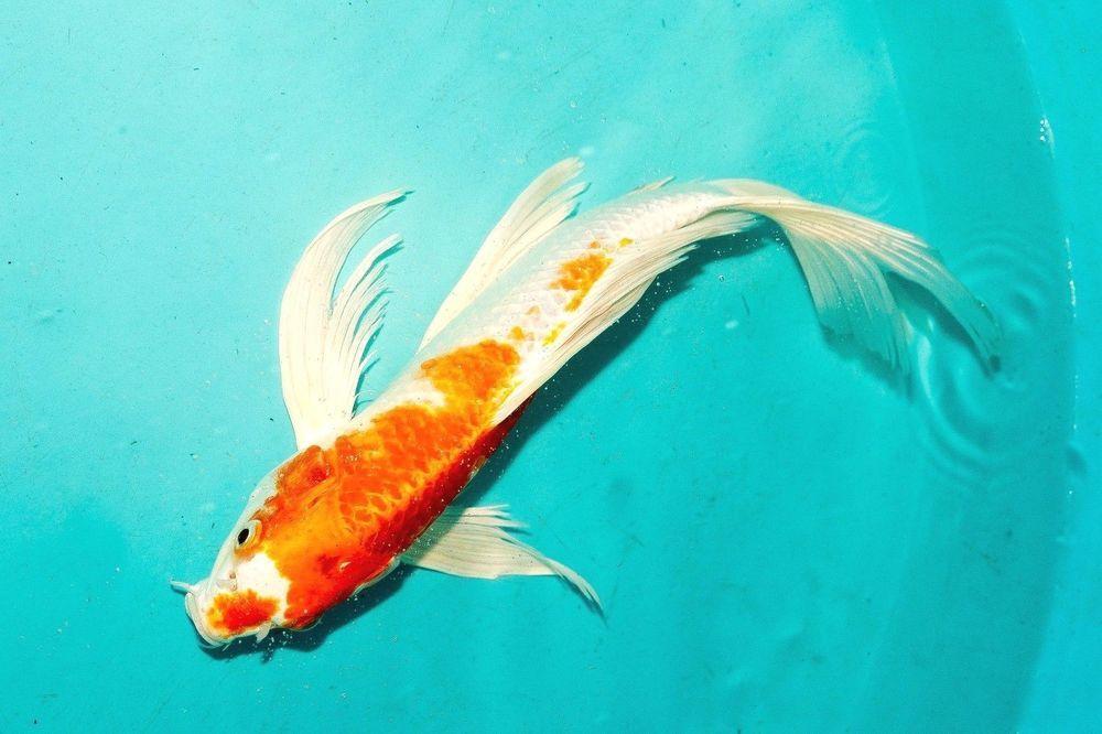 Pin On Shop Koi Fish Online
