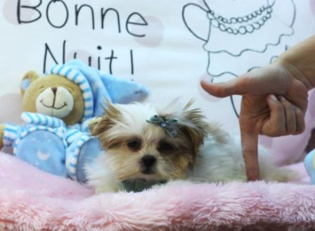 Duffy The Tiniest Shih Tzu Maltese 954 353 7864 Www Teacuppuppiesstore Com Maltese Shihtzu S Teacup Puppies Morkie Puppies For Sale Morkie Puppies
