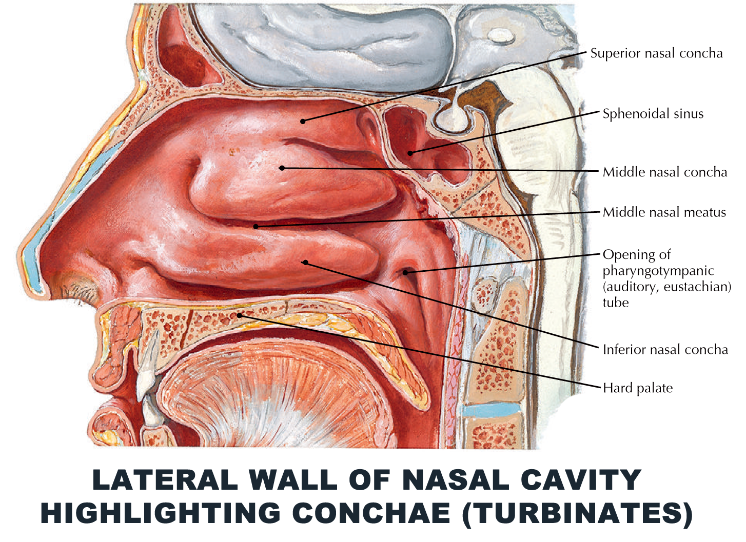 Lateral wall of nasal cavity highlighting conchae (turbinates ...