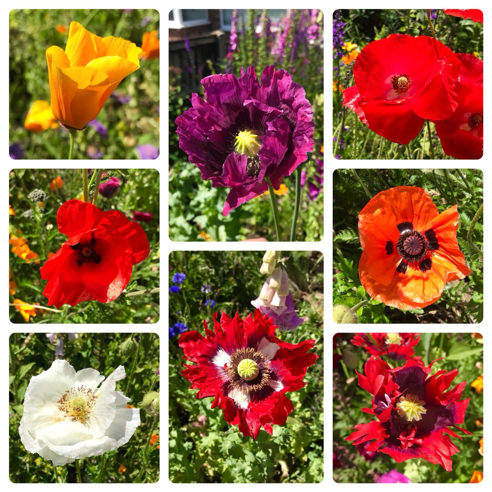These poppy hybrids appearing all over my garden!