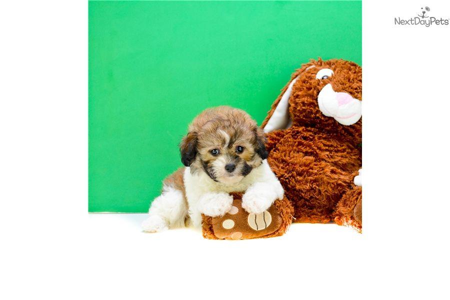 Shichon Puppy For Sale Near Columbus Ohio E48a80c6 B1f1 Shichon Puppies For Sale Shichon Puppies Puppies For Sale