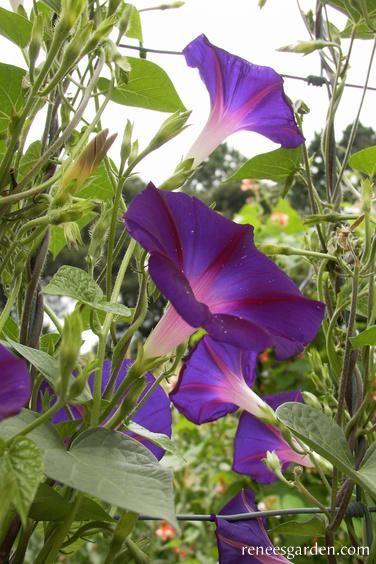 Grandpa Ott S Seed Starting Mix Flower Garden Purple Flowers