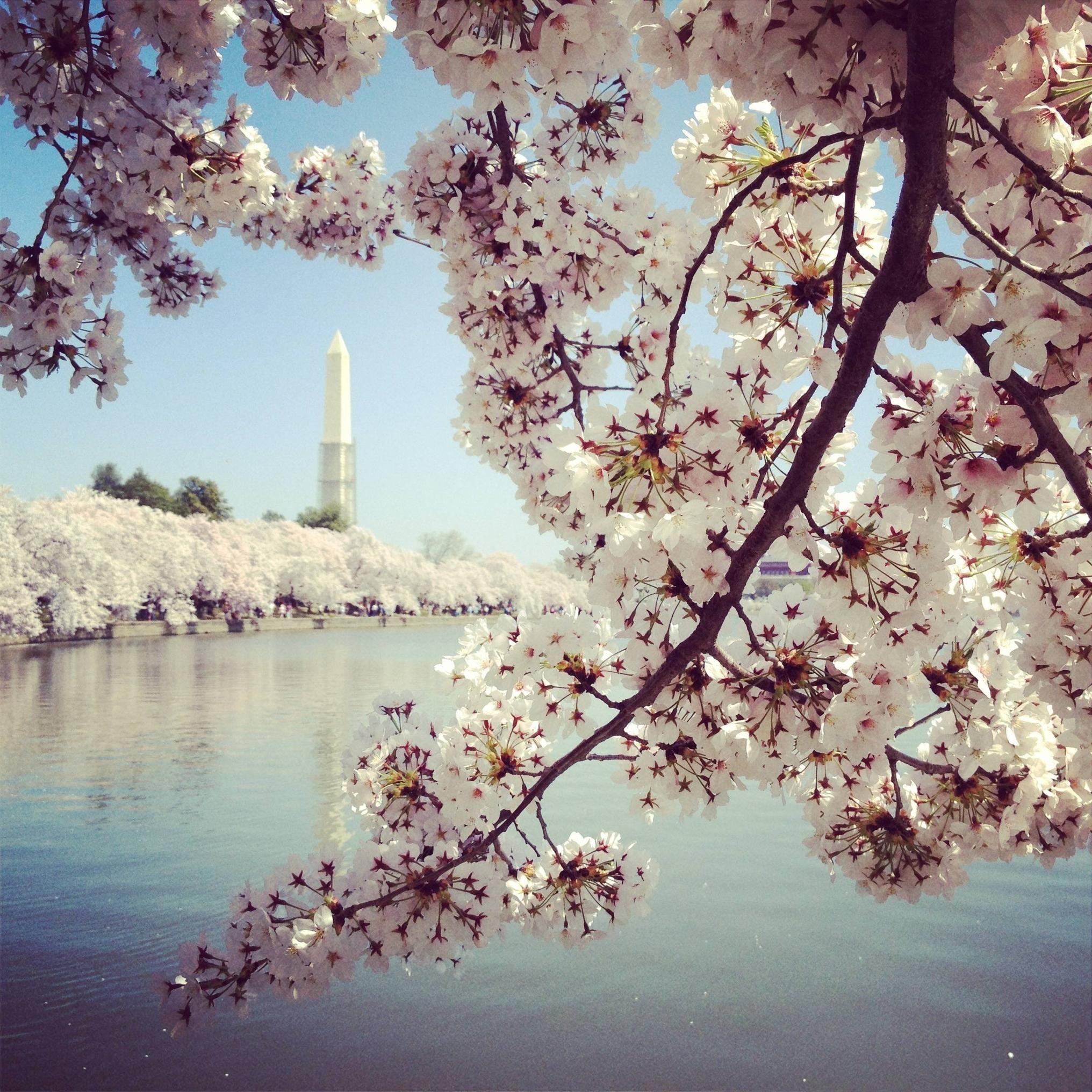 Dc Cherry Blossoms Cherry Blossom Blossom Trees Blossom