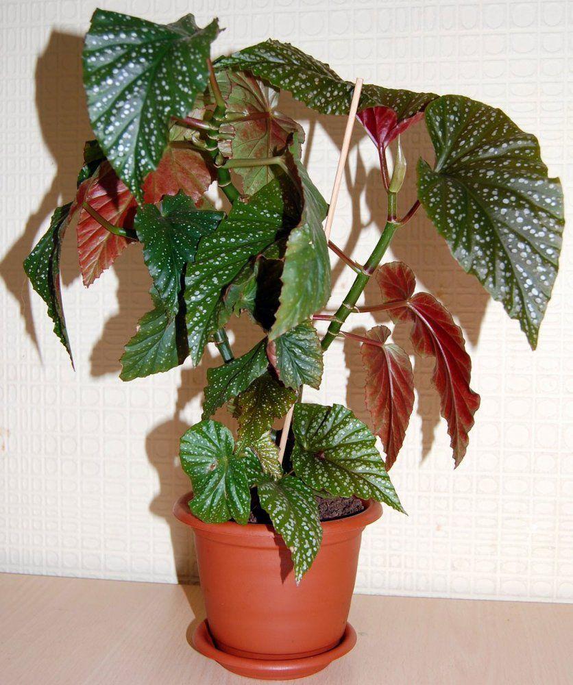 бегония фото комнатное растение