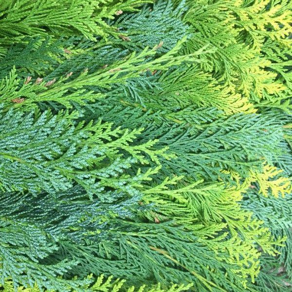 Adventsdeko von Pflanzen-Kölle: Kölle\'s Bio Zypresse gemischt ...