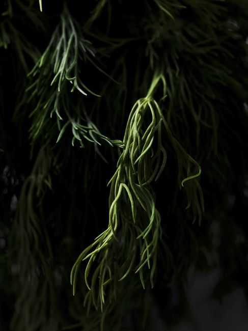 Dill herb leaves isolated on black background