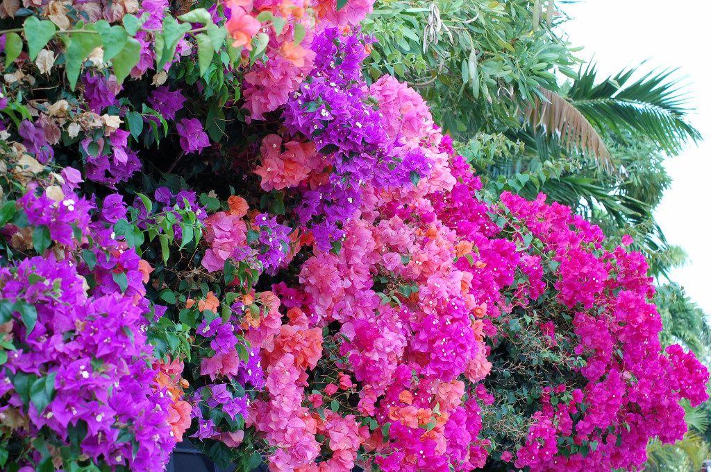 Bougainvilleas, Key West Bougainvillea, June flower, Key