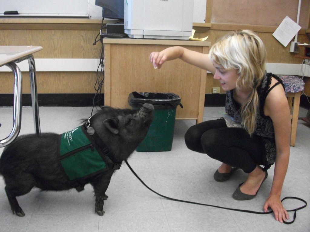 Buttercup the pot bellied pig is a #therapy pet! The Pet