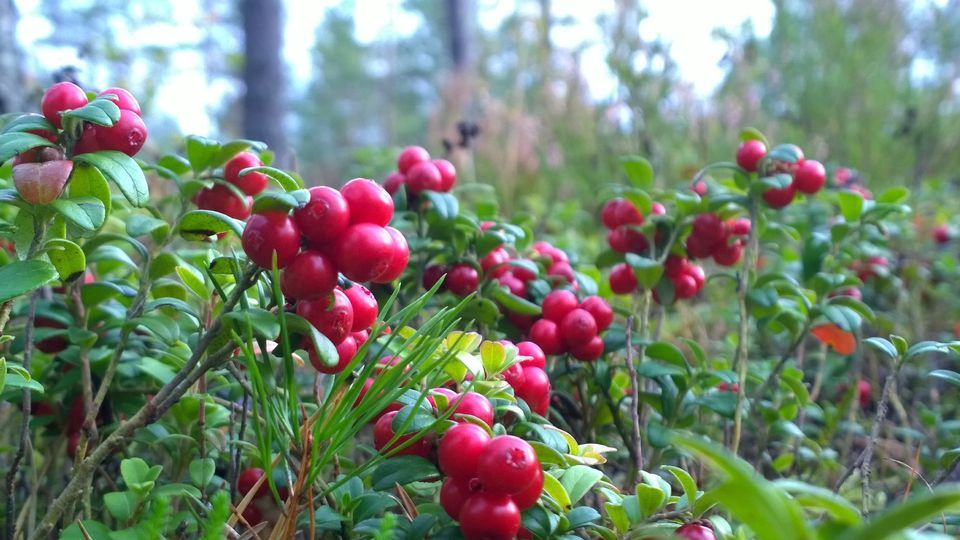 Forests bursting with lingonberries! Finland / yle.fi