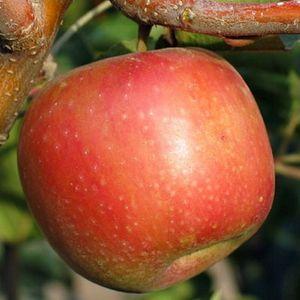 Fruit Trees Online From Bay Laurel Nursery Fruit Trees Dwarf Fruit Trees Apple Tree