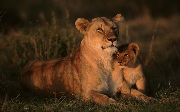 lioness wild
