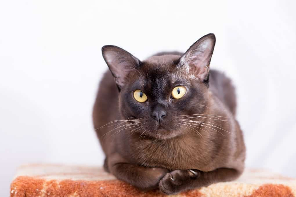 European Burmese The Ultimate Guide To Their History Types Characteristics Temperament And Care A Cat Breeds Blog Burmese Cat Cat Breeds Pretty Cats