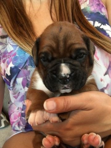 Boxer puppy for sale in INDIANAPOLIS, IN. ADN47710 on