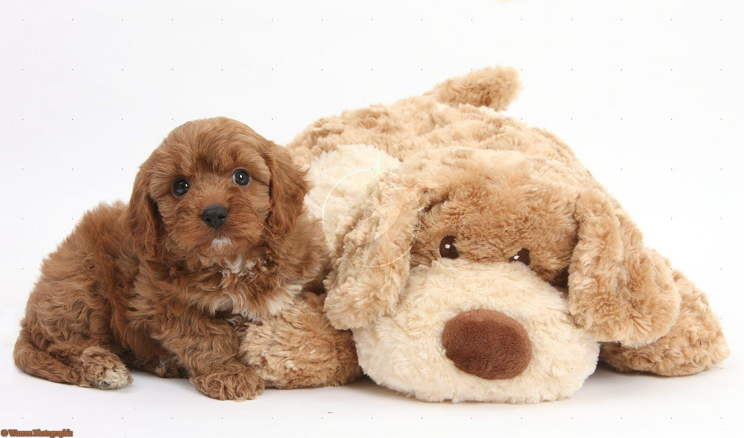 Cavapoo Pup 6 Weeks Old And Soft Toy Dog Dog Toys Pup Dog Photos