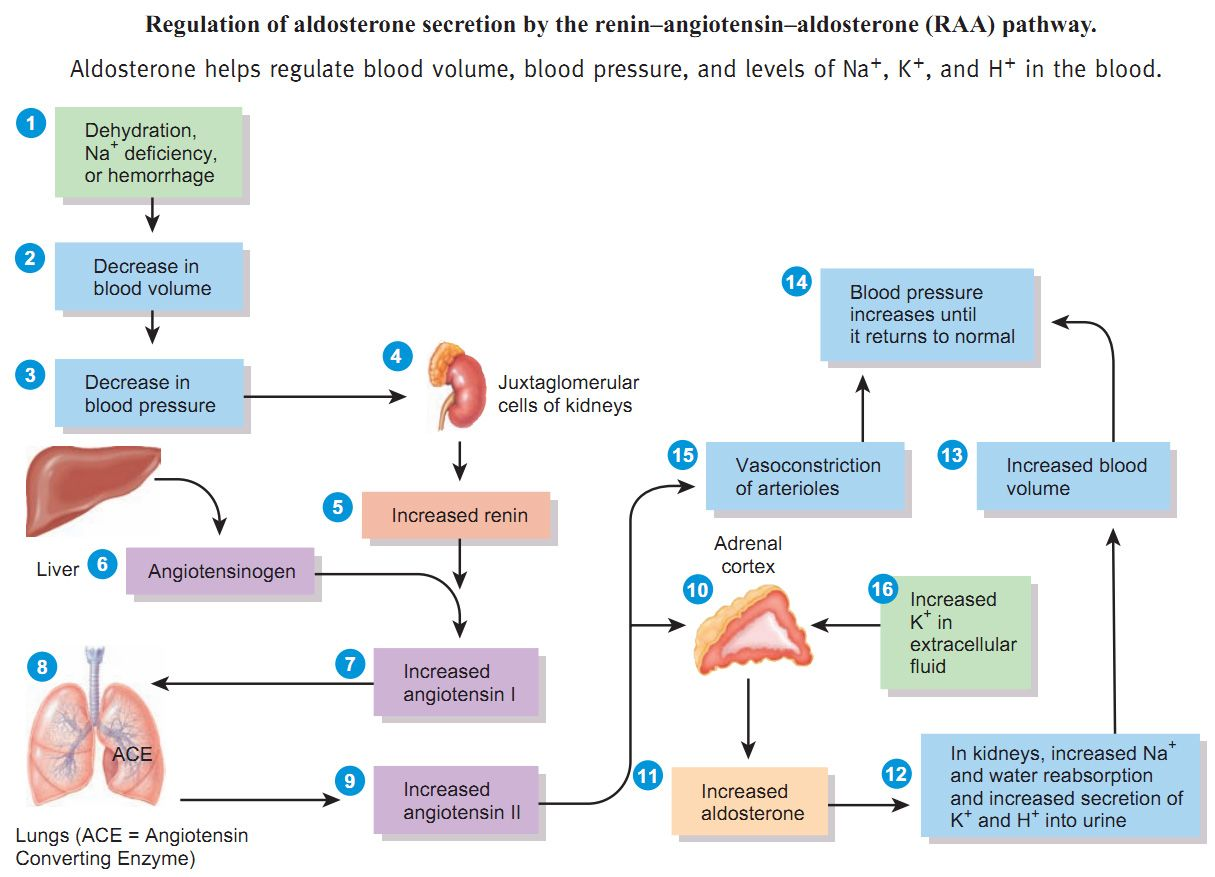 Concept Map Renin Angiotensin Aldosterone Mechanism.Learn The Renin Angiotensin Aldosterone Pathway It S Easy Humor