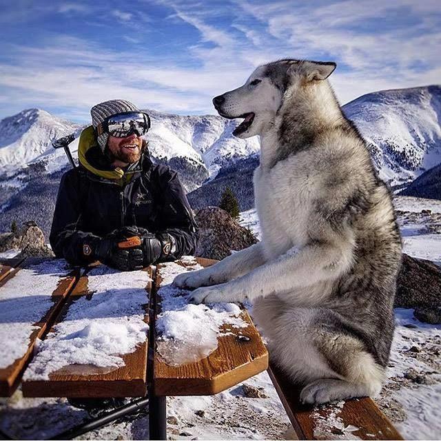 Everything About Athletic Siberian Huskies Puppies Temperament #siberianhuskyworld #siberianhuskeycross #siberianhuskyred