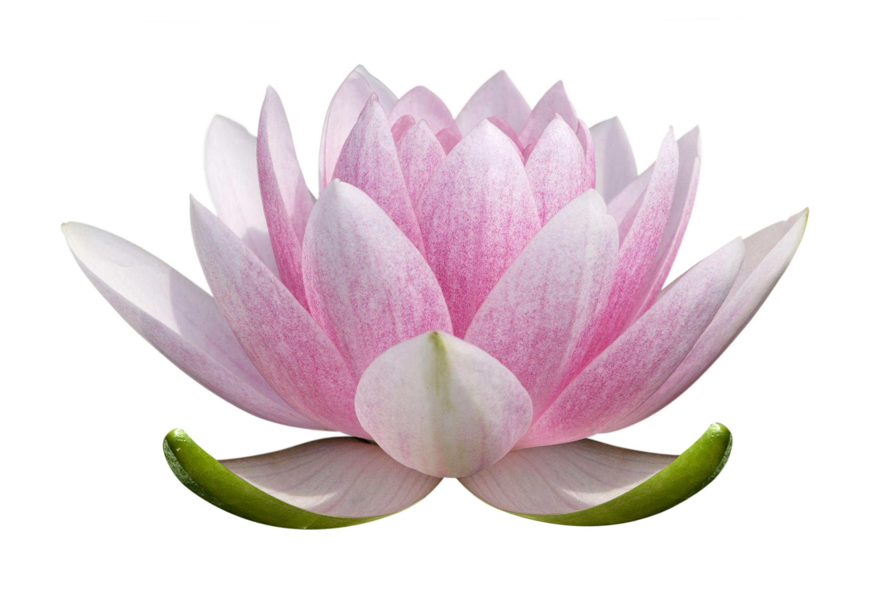 Lotus Flower Structure Topsimages