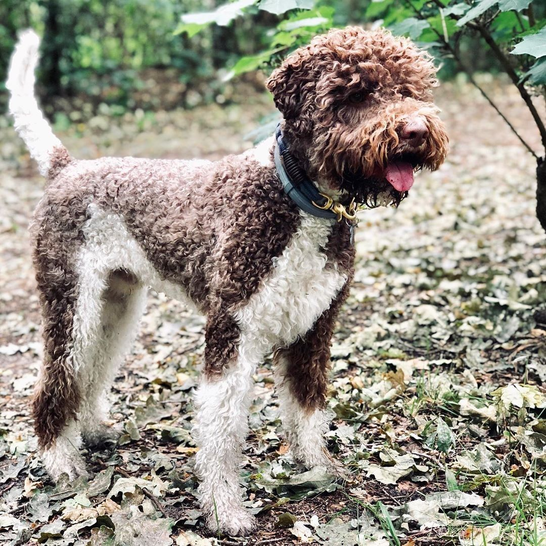 Bruno 2 Years Old Lagotto Romagnolo Lagottoromagnolo From Germany Lagottobruno Lagotto Romagnolo Lagotto Romagnolo Puppy Puppy Snuggles