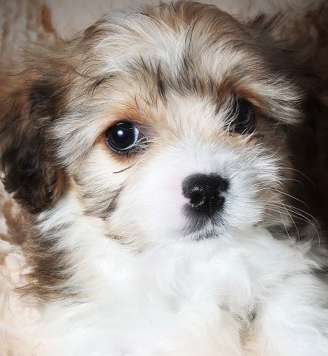 Find F1 Cavachon Puppies For Sale For Sale In The Uk Cavachon Puppies Cavachon Puppies