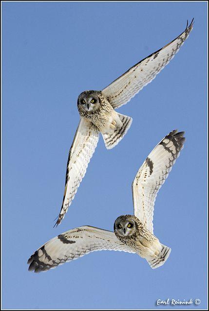 Short Eared Owls in flight